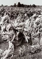 Tobacco Harvest - Virginia - 1967