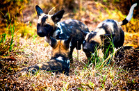 Cape Hunting Dog Puppies - Mala Mala SA
