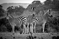 Zebras On Watch - Mashatu - Botswana